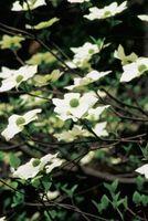 Cómo cuidar los árboles de Dogwood blanco