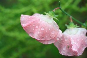 Cuál es el significado de la flor del guisante dulce?
