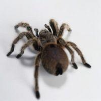 Lo que hay varios tipos de arañas Brown?