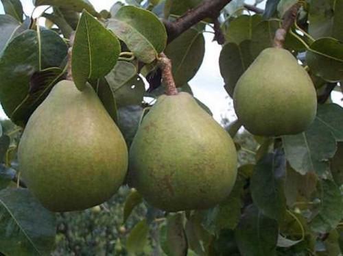 Dónde pedir árboles de pera Comice