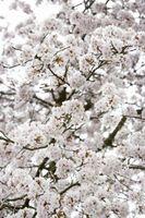 Sistema radicular de la cereza que llora árboles