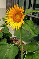 Tipo de girasol flores perennes