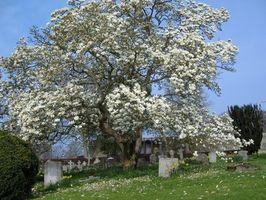 Cómo proteger un árbol de magnolia contra temperaturas bajo cero