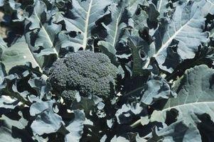 Los gusanos que se alimentan de las hojas de brócoli