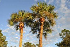 Mexicana palma de ventilador cuidado de los árboles