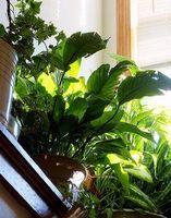 ¿Qué efecto tiene el agua destilada tener en plantas?
