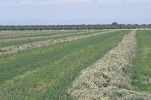 Datos de la alfalfa de la planta