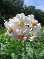 ¿Cuánto musgo de turba para camas de plantación de la patata?