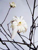 Las ideas muertas Árbol de la magnolia