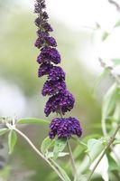 Cómo trasplante y podar un arbusto de las mariposas