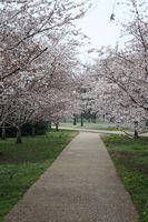 Yoshino de los cerezos