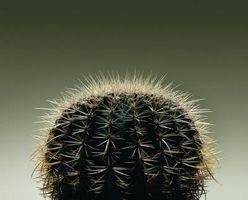 Ciclo de vida de un Cactus barril de oro