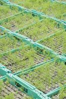 Cuando Green Onions usted planta se puede hacer en Pennsylvania?