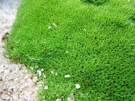 Cuidado de las plantas musgo irlandés en Pennsylvania