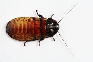 Ácido bórico como insecticida