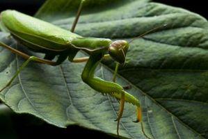 Killer Bug Orgánica de hortalizas