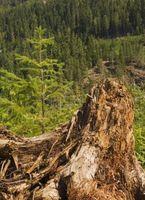 Lo que se rompe tocones de árboles?