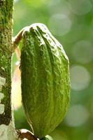 Datos sobre la planta del cacao y del chocolate