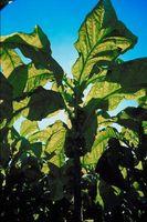 Cómo germinar semillas de tabaco con la Salitre