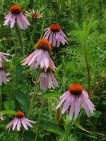 Las flores púrpuras como jardín Las plantas perennes