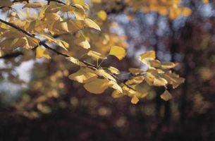 ¿Qué es un árbol de gingko biloba?