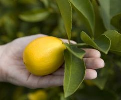 Cómo cultivar enano mejorada Meyer Lemon Trees en Houston