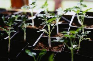 Diferentes Etapas de Crecimiento de una planta de tomate