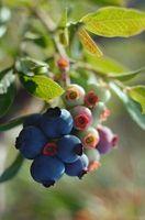 Cómo identificar la variedad de arándano Bush por las hojas