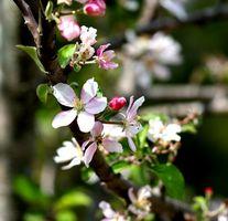 Los árboles que florecen en la primavera Naturalmente