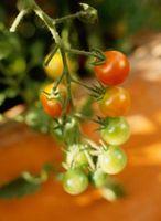 La profundidad del suelo de plantas de tomate