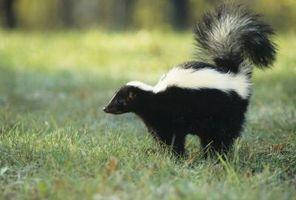 Cómo matar a una Skunk