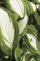 Cómo cuidar de liliáceas para el invierno