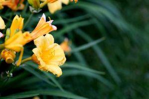 Cómo identificar una planta con una flor de trompeta naranja Luz