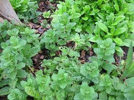 ¿Qué puede usted utilizar hojas de menta para?