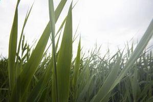 Cómo hacer que la hierba verde Die