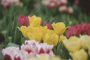 Altura de los tulipanes