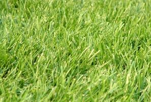 Puede Rye Grass ser colocado en clima frío?