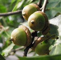 Cómo identificar los árboles de roble en West Kentucky