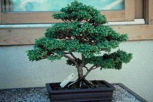 Cómo podar una planta de semillero de un año Bonsai