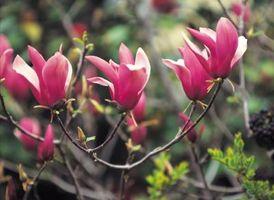 Las variedades enanas de la magnolia