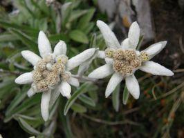 El significado de la flor Edelweiss