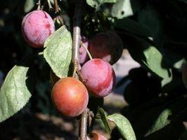 Hacer púrpura de hoja de ciruela Árboles dar fruto?