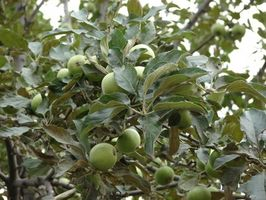 Épocas del año para podar los árboles de Apple
