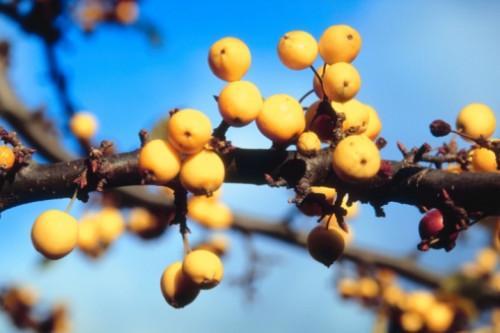 El árbol con amarillo bayas y ramas espinosas