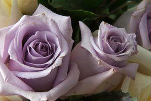 Los tipos de rosas púrpuras