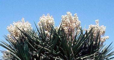 Las partes de la flor de la yuca