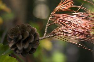 Tasas de crecimiento de los árboles de cedro rojo