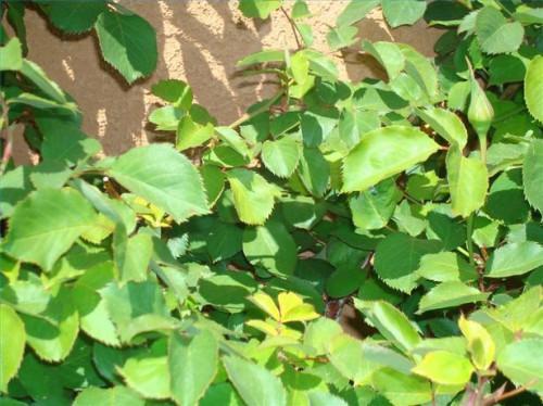 ¿Cómo deshacerse de los áfidos sobre las rosas sin usar químicos dañinos