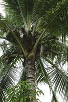 Cómo cuidar de las palmeras del coco