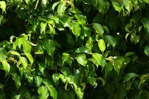 ¿Cuánto crece un seto Ficus por año?